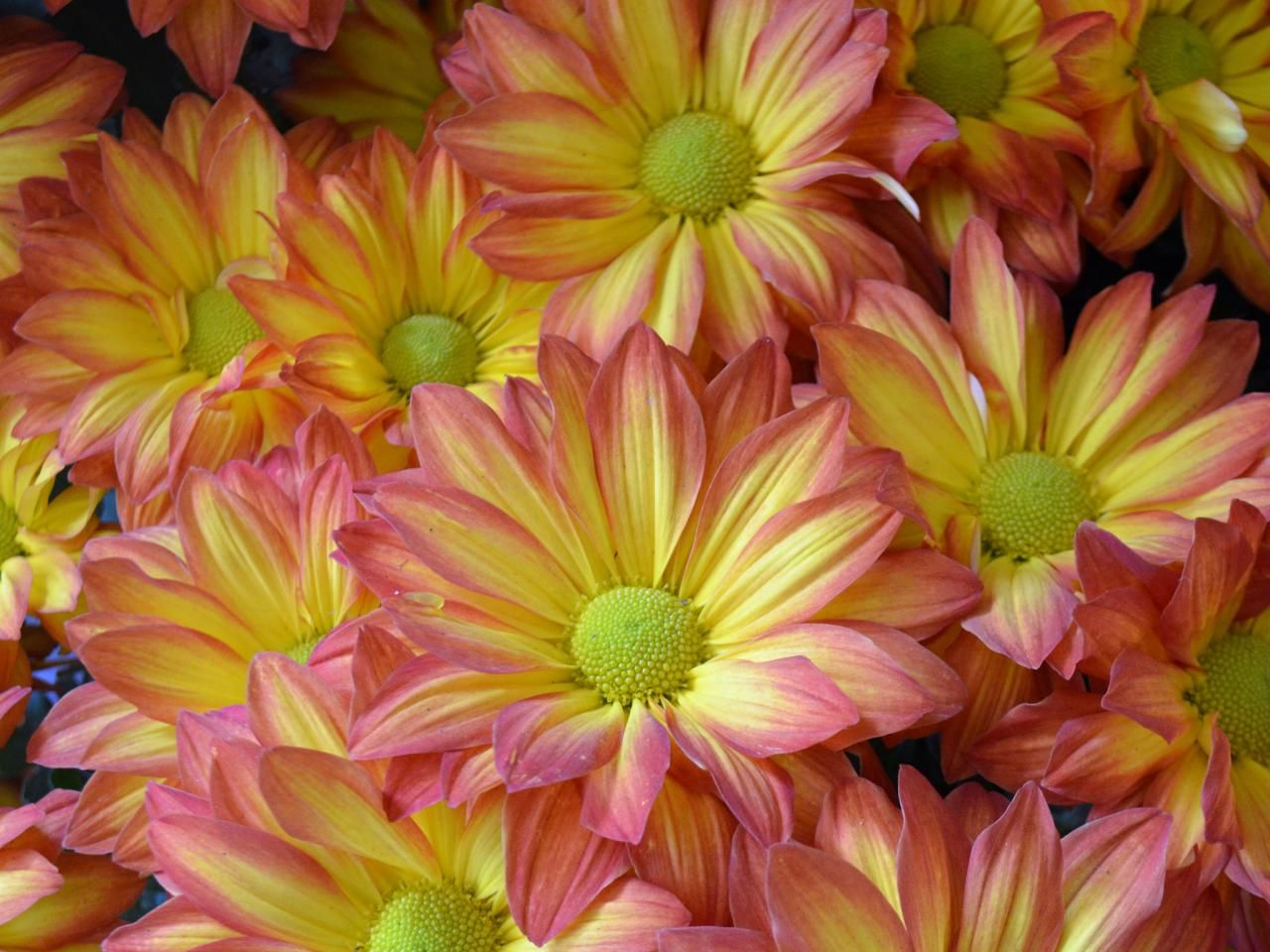 Daisy Mums Night Blooming Flowers Flowers Last Longer Flower Pictures