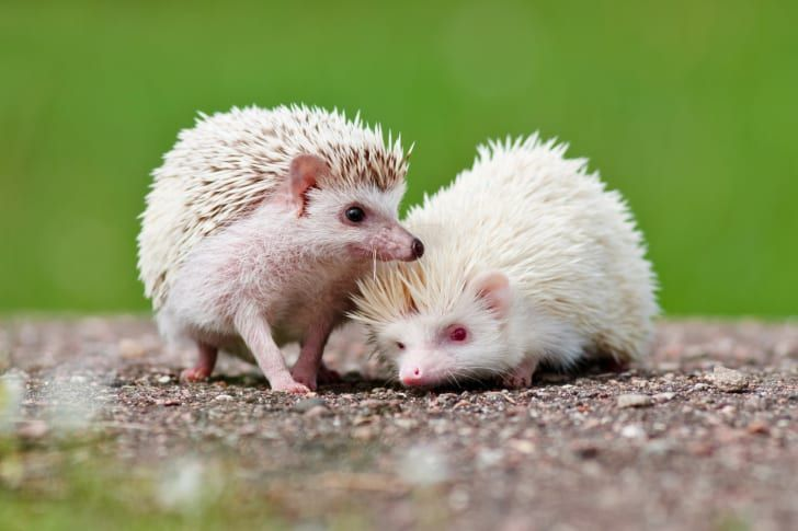 how to take care of a hedgehog baby