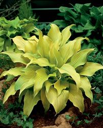 "Hosta 'Sun Power' H 24"" Spread 48"". High degree of sun tolerance. Full sun-Full shade - purchased at"