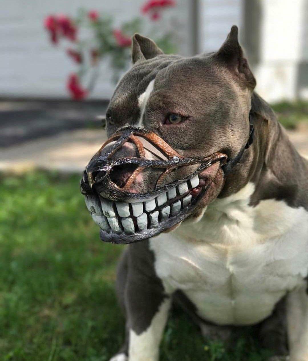 That Muzzle Pitbulls Dogs Dog Muzzle