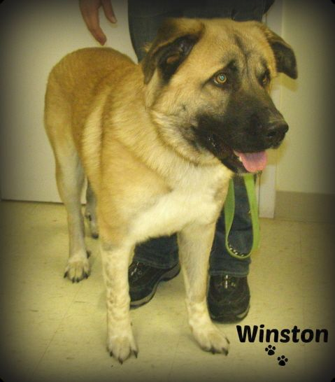 Adopt Winston Adoption Event March 2 At Ff H On With Images Winston Great Pyrenees
