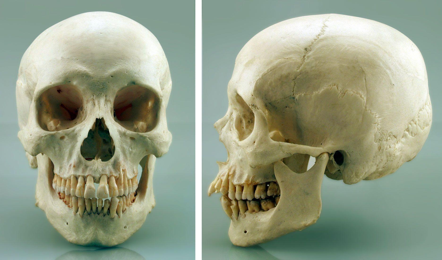 Human Skull Google Search Drawing Pinterest Real Human Skull