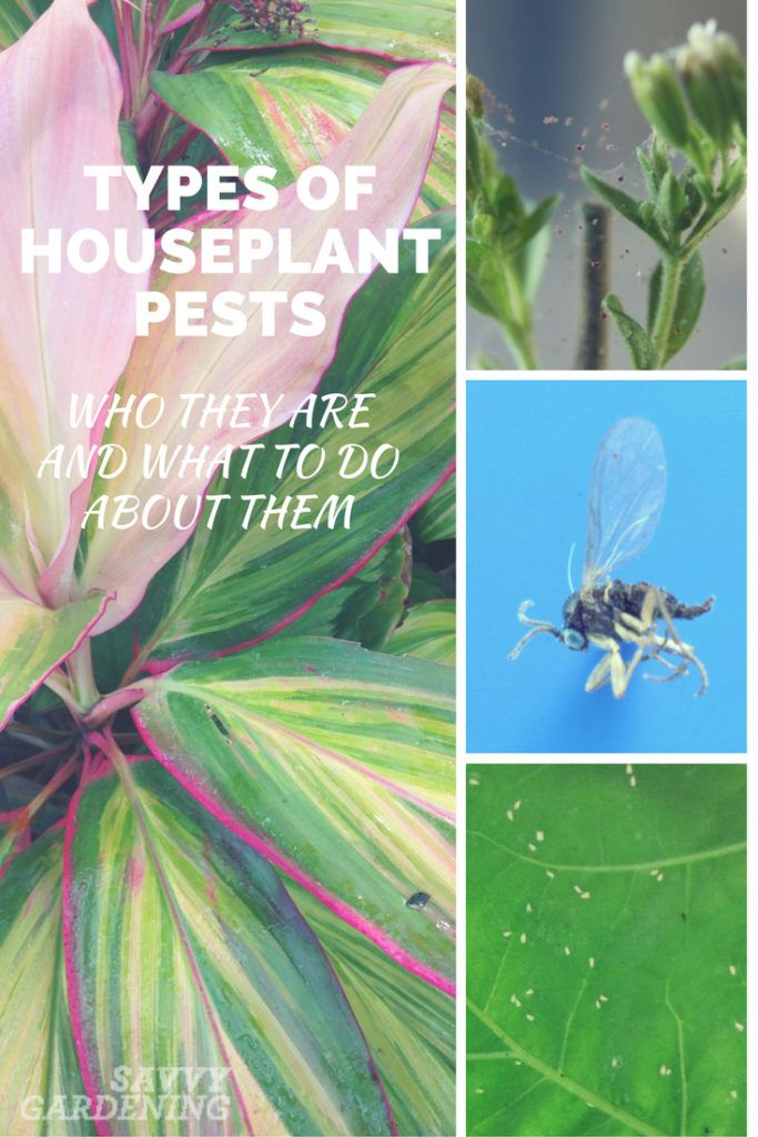Types Of Houseplant Bugs Who They Are And What To Do About Them Garden Pest Control Lawn Pests Slugs In Garden