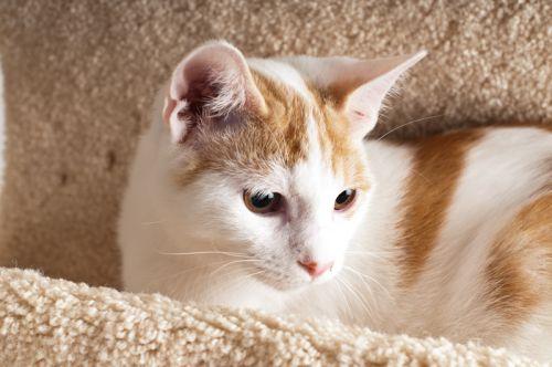British Shorthair Blue And White Kitten Brits Korthaar Kittens Katten