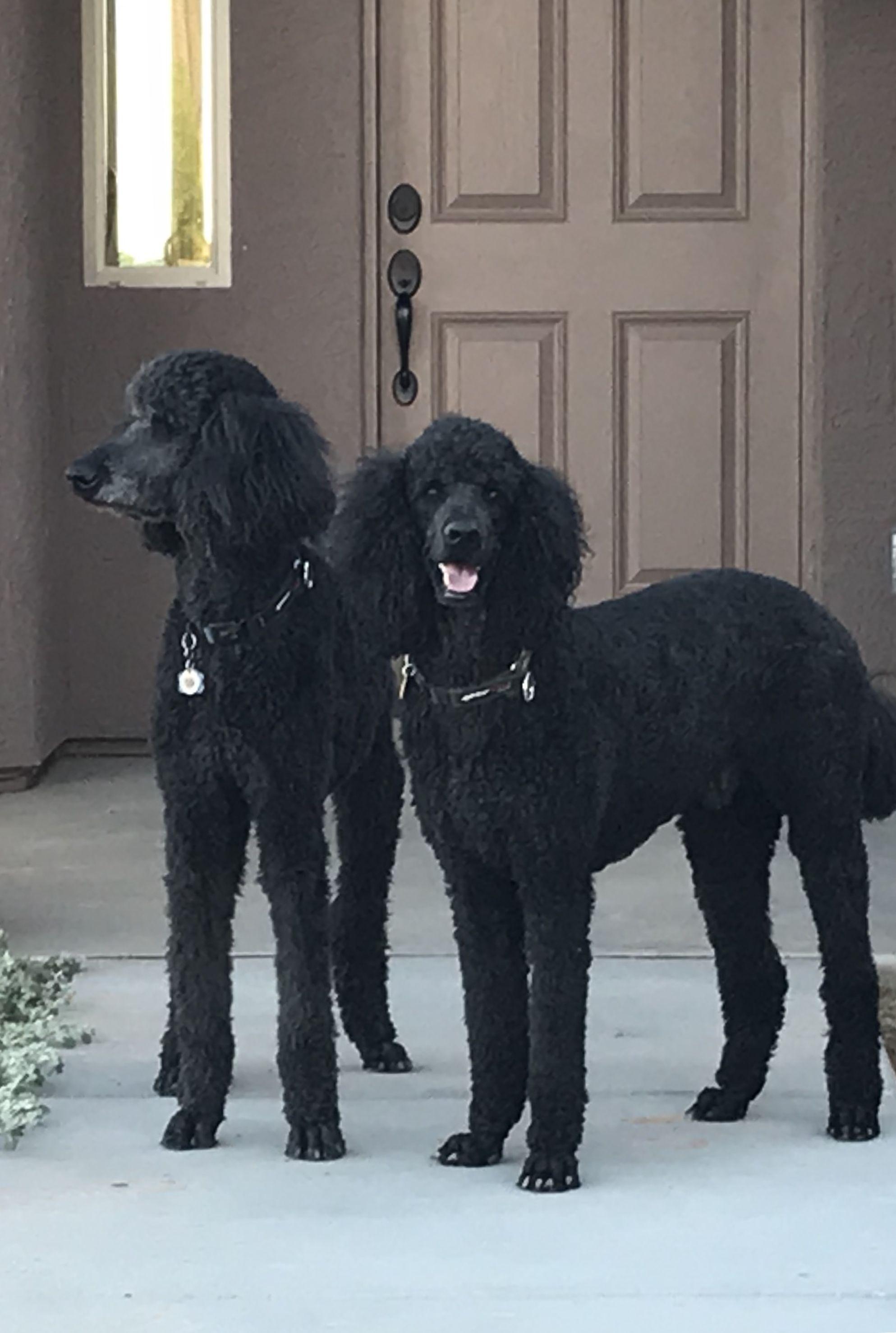 Poodle Dog Breed Information Dog Breeds Bulldog Breeds