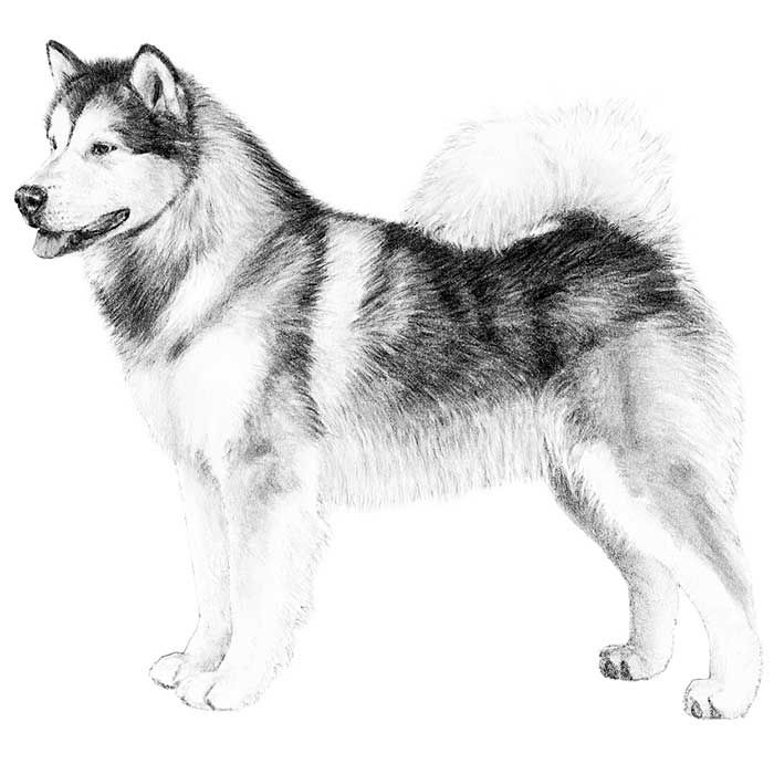 Alaskan Malamute Dog Breed Information Malamute Dog Dog Breeds