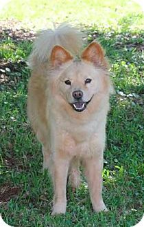Chow Chow Golden Retriever Mix Dog For Adoption In Bunnell