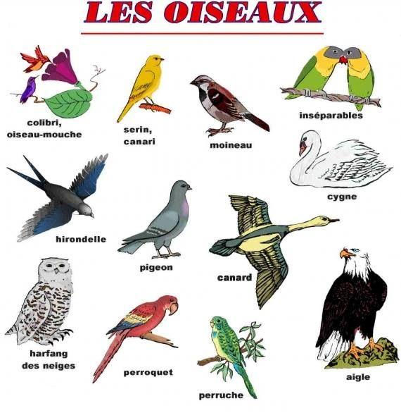 Ptaki - słownictwo 2 - Francuski przy kawie