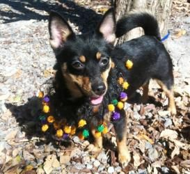 Roxy Is An Adoptable Chihuahua Dog In Altoona Pa Roxy And Foxy