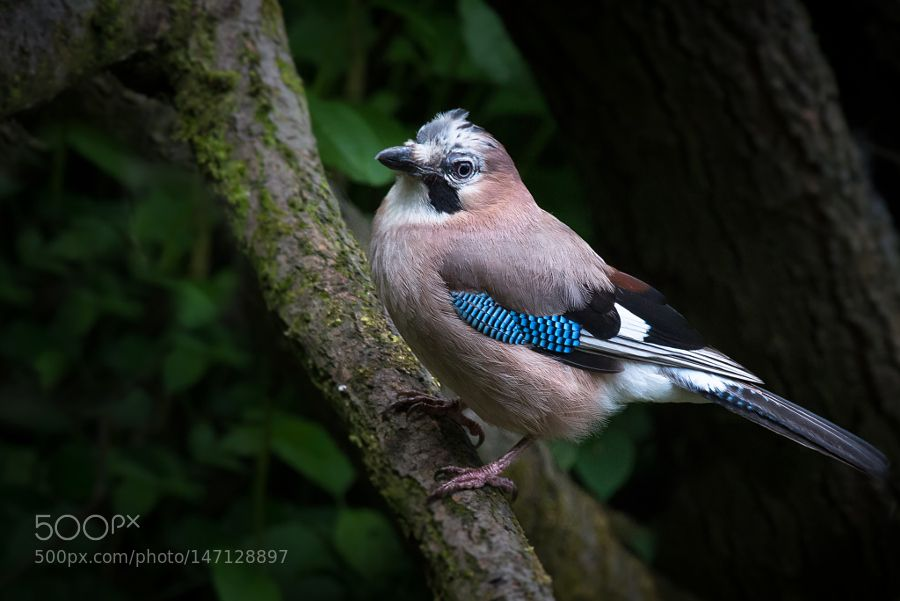Jay posing for the camera by iancalland #animals #animal #pet #pets #animales #animallovers #photooftheday #amazing #picoftheday