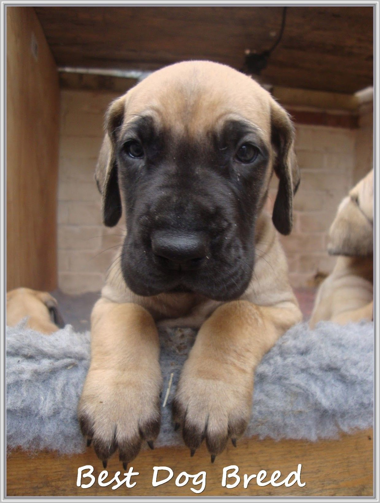 Tips For Finding A Great Puppy Dane Puppies Great Dane Dogs