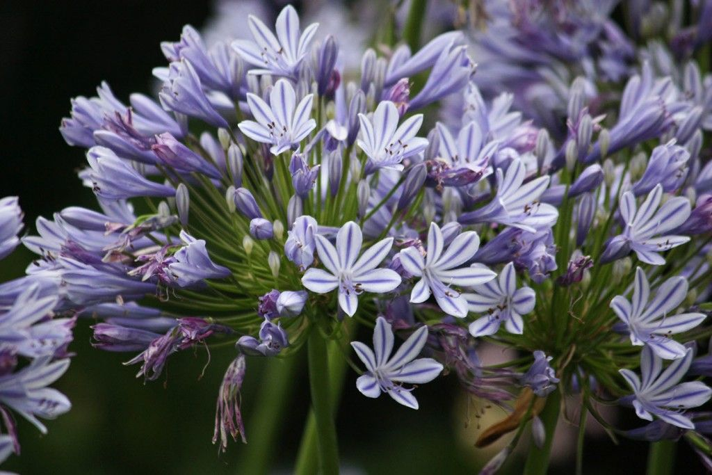 Agapanthus Lily Of The Nile South African Flowers African Flowers Agapanthus