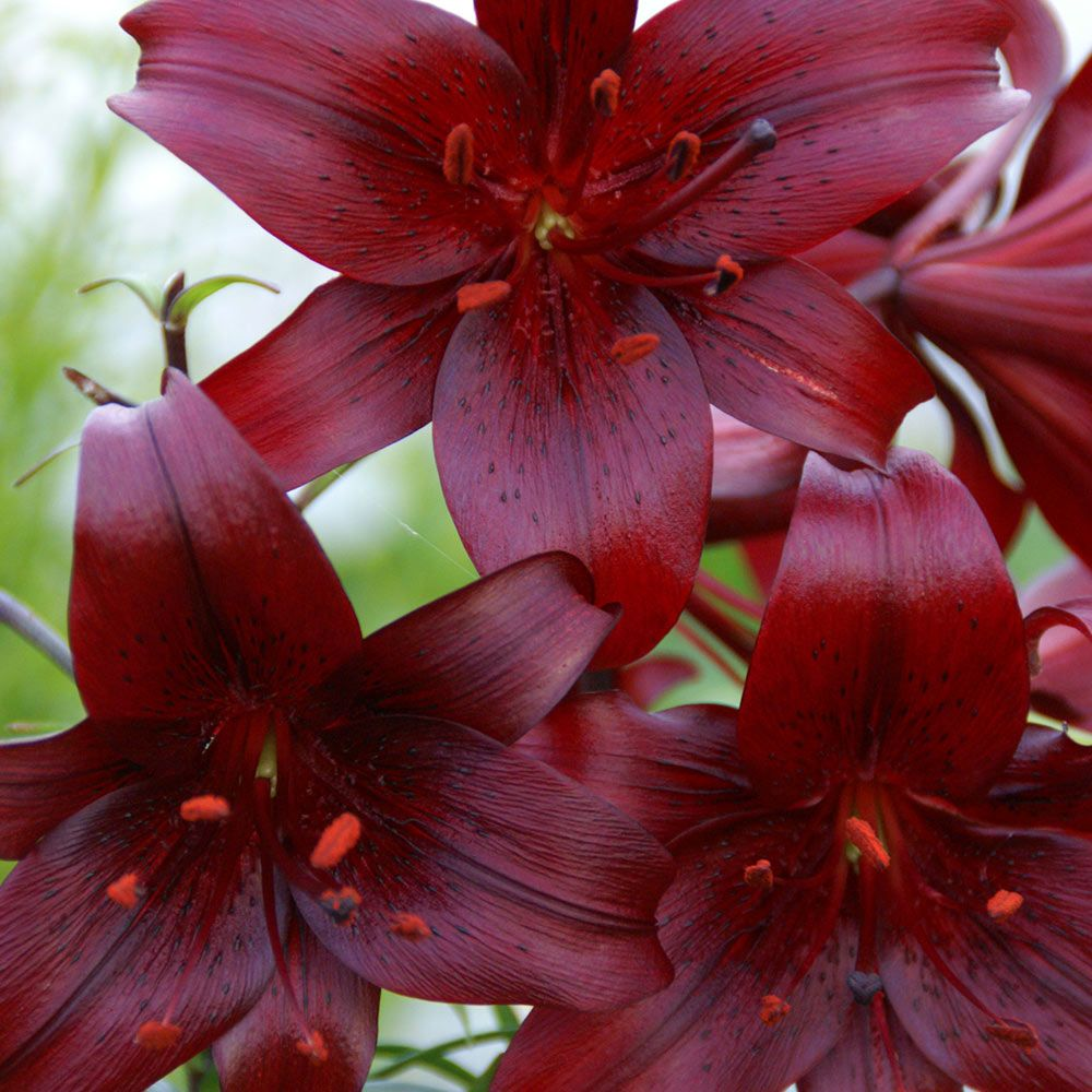 Lily night flyer planting bulbs tiger lily plant tiger