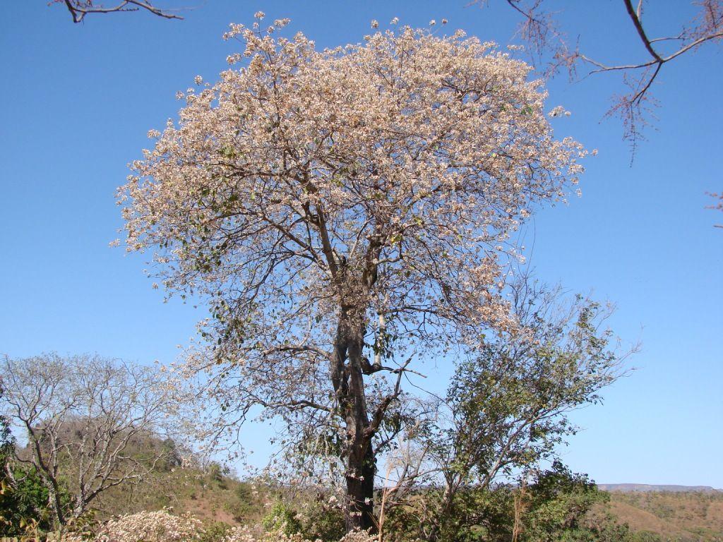 Louro Branco (Cordia Glabrata)