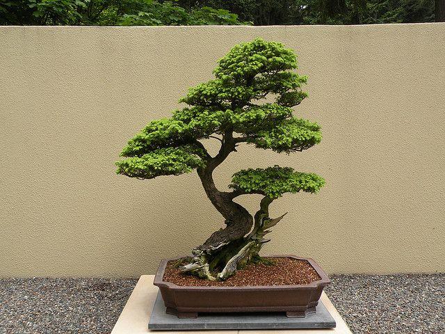 Western Hemlock Bonsai Bonsai Tree Bonsai Bonsai Garden
