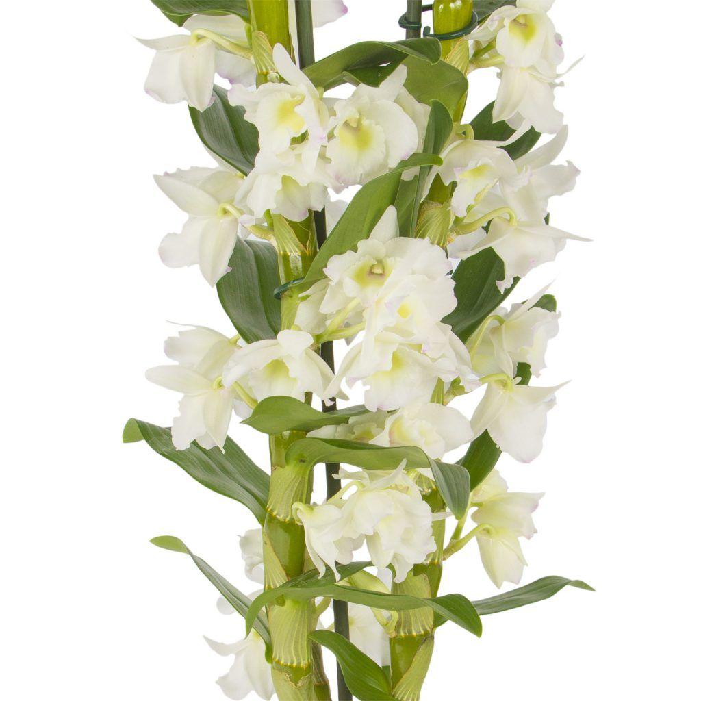 Dendrobium orchids orchid pinterest dendrobium orchids plants