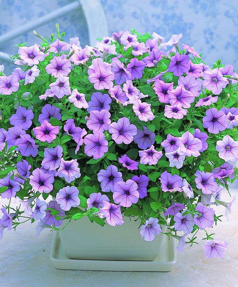 Petunia Wave Fortunia Lilac Petunias Container Flowers