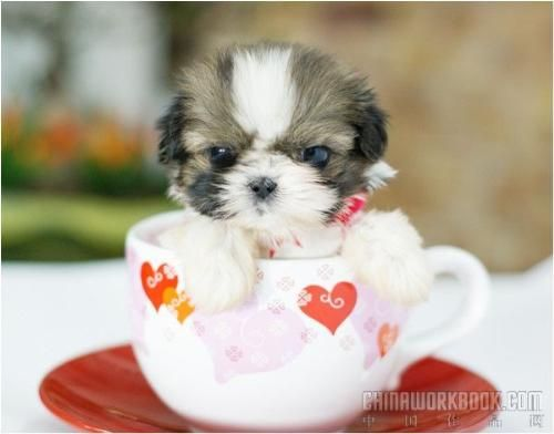 Teacup Poodle Google Search Teacup Animals Tiny Dogs