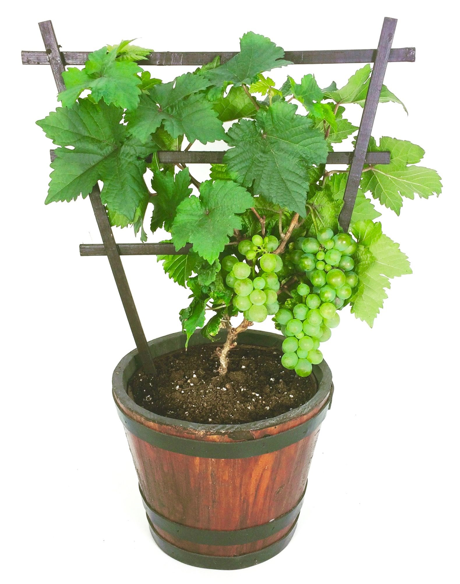 Growing grapes in containers: Pixie gapes | Grape plant ...
