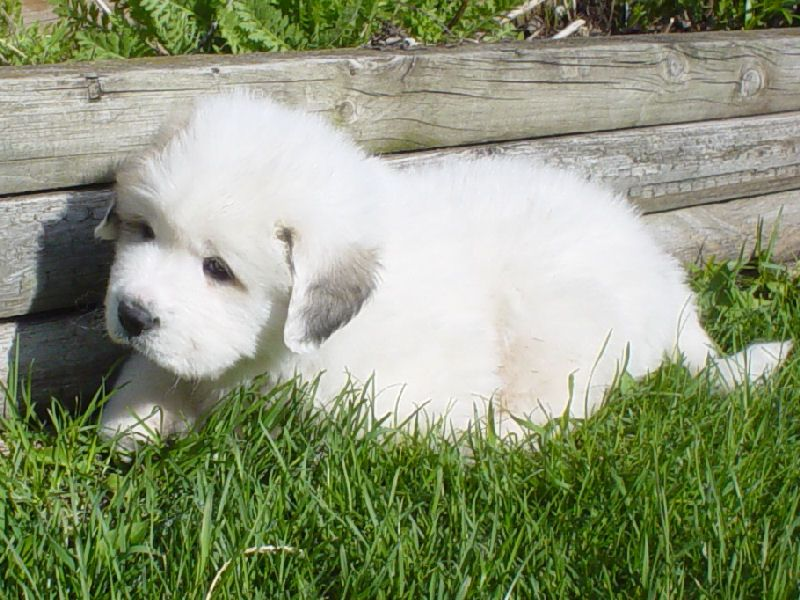 Great Pyrenees Pup Animales Perros Mascotas