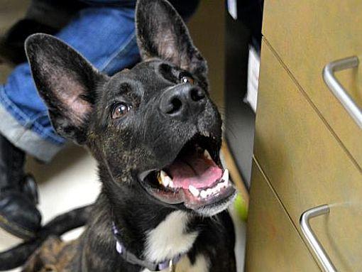 Portland, OR Australian Kelpie. Meet Herra a Dog for