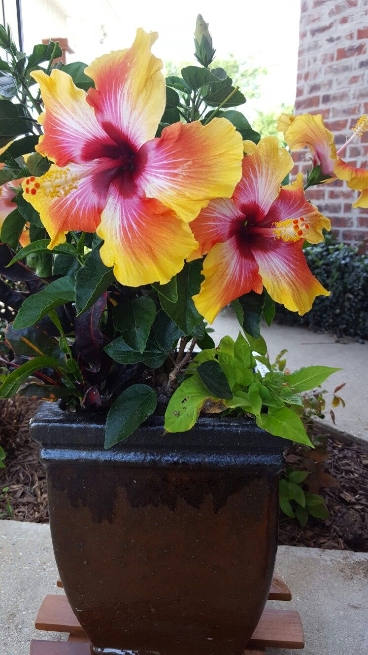 Hawaiian sundown hibiscus now i know what the name of mine is hawaiian sundown hibiscus now i know what the name of mine is hawaiian plants izmirmasajfo