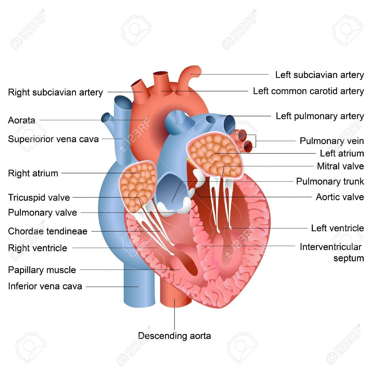 hight resolution of human heart labeled human heart labeled simple human lungs andhuman heart labeled human heart labeled simple