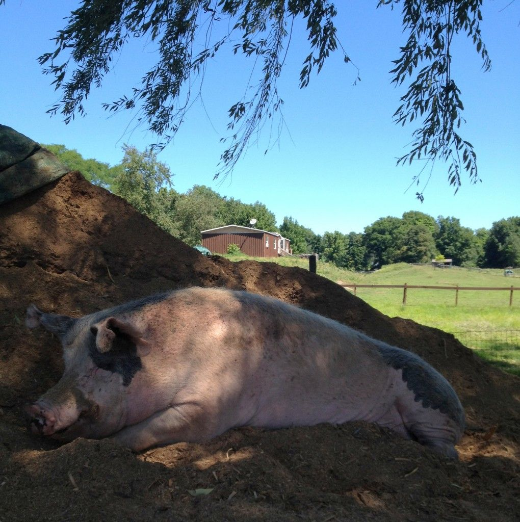 3 Stories of Rescued Pigs That Will Make You Squeal With