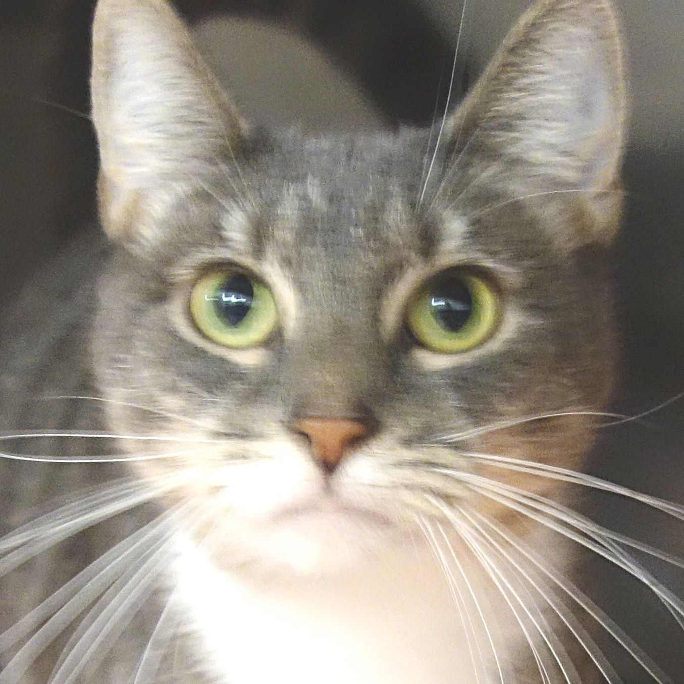 Spaz is an adoptable domestic short hair searching for a
