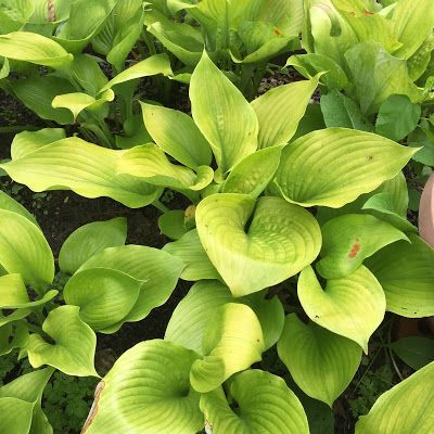 What Are Sun Tolerant Hostas Gardening Sun Hostas Hosta