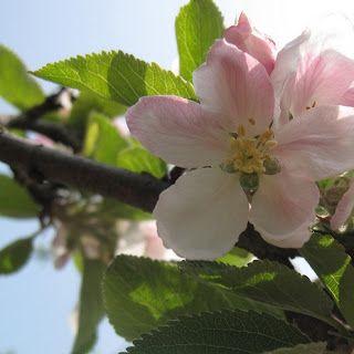 Les 25 meilleures id es de la cat gorie planter des - Planter pepin citron ...