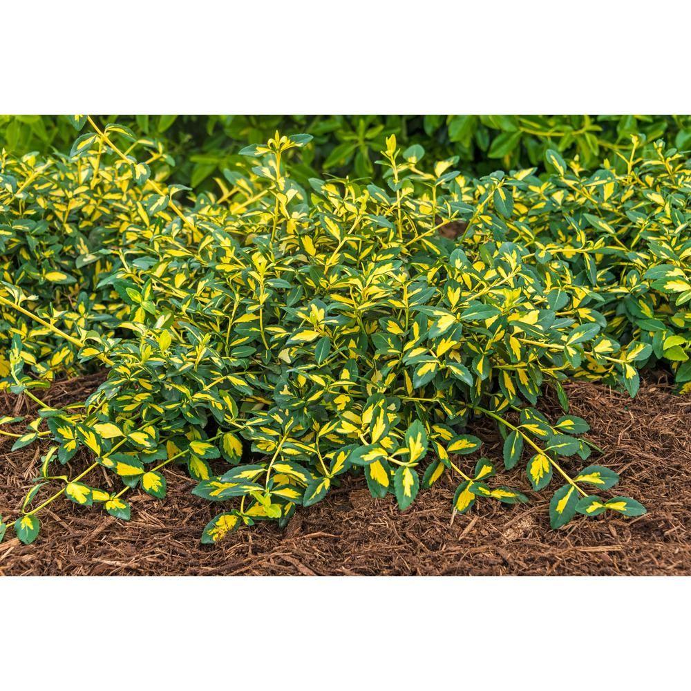 2 50 Qt Pot Moonshadow Euonymus Live Broadleaf Evergreen Plant