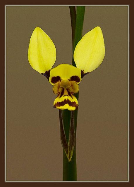 Diuris Species Orchid Family Strange Flowers Unusual Flowers Amazing Flowers