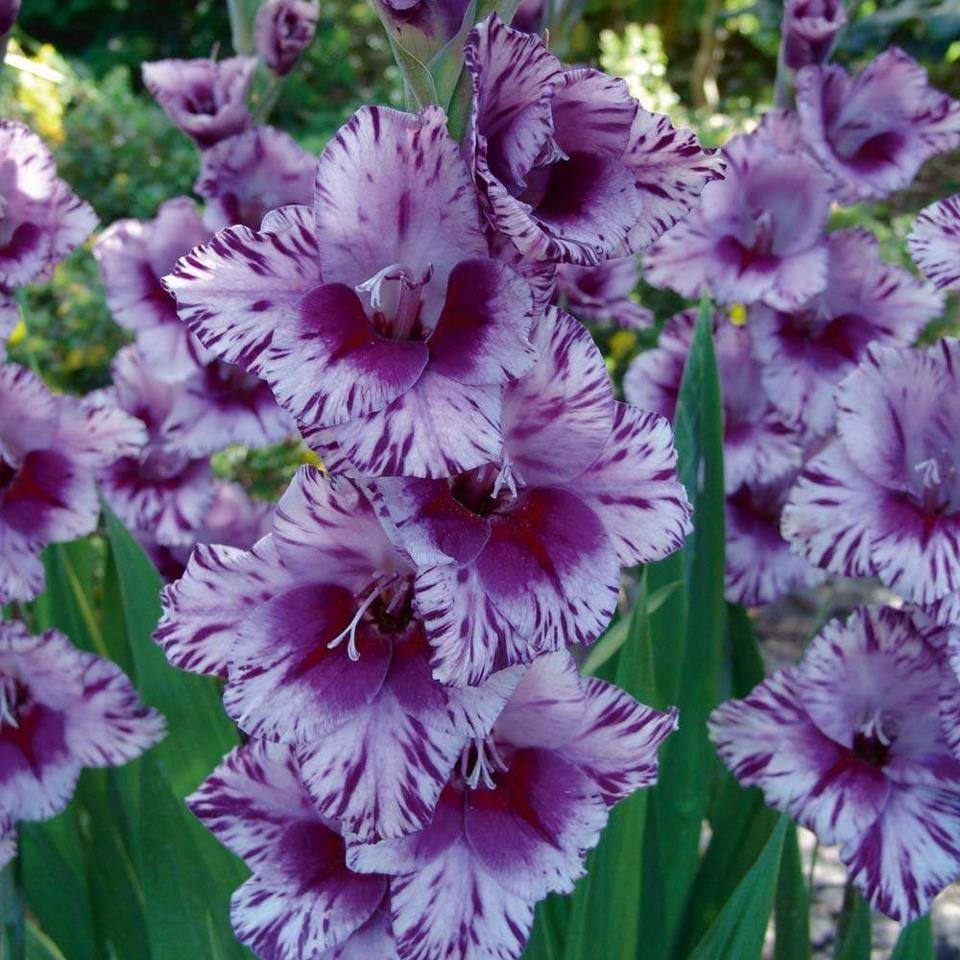 Glaïeuls ... ( Photo de : Edba Wythona Gardens )