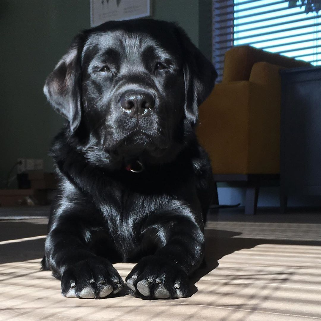 If You Love Labradors Visit Our Blog Labrador Labradorretriever Labradorcentral Retriever L Labrador Retriever Black Labrador Retriever Black Lab Puppies
