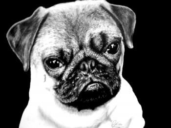 how to draw a realistic pug