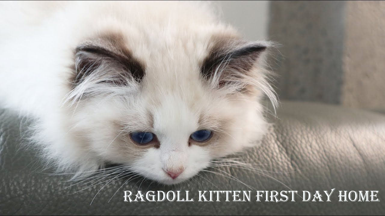 Ragdoll Kitten First Day Home Three Month Seal Bicolor Boy Joule Come In 2020 Ragdoll Kitten Ragdoll Cat Breeders Ragdoll Cat Colors