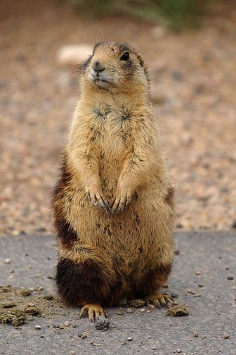 Utah Prairie Dog Endangered Approximately 8 000 Adults Prairie Dog Endangered Animals North American Animals