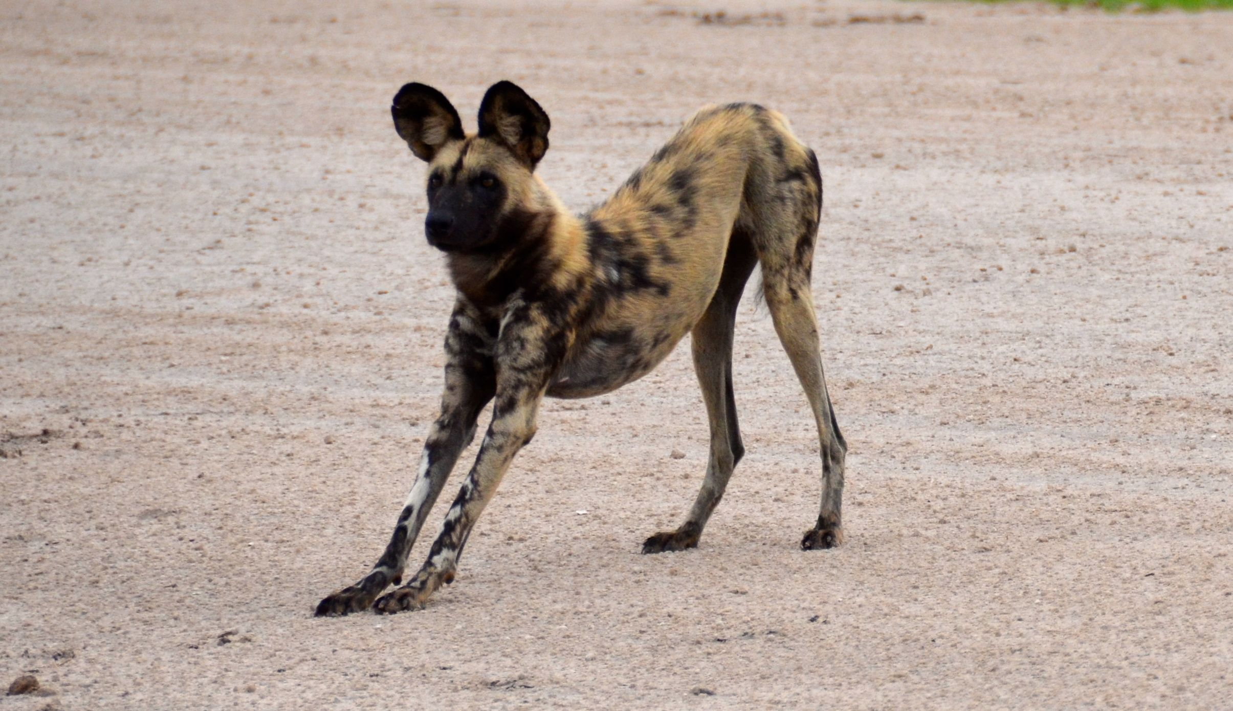 Cute little stretch! Submission and nonaggression are emphasized in #africa #wild #dog #packs  #safari