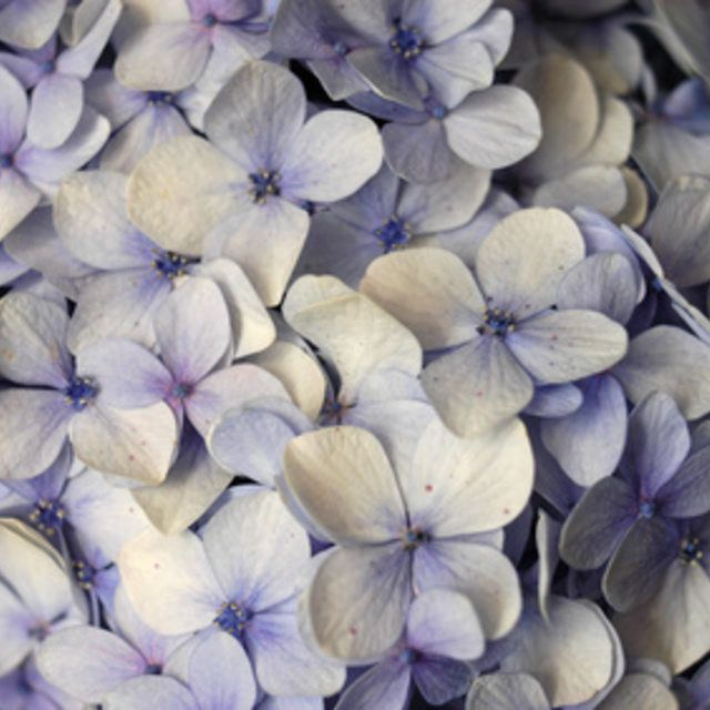 The Causes Of Yellow Leaves And Brown Spots On Hydrangeas Hunker Hydrangea Hydrangea Colors Yellow Leaves