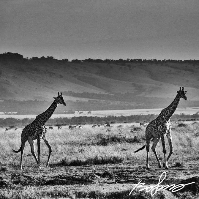 Two giraffes on warm afternoon in Mara