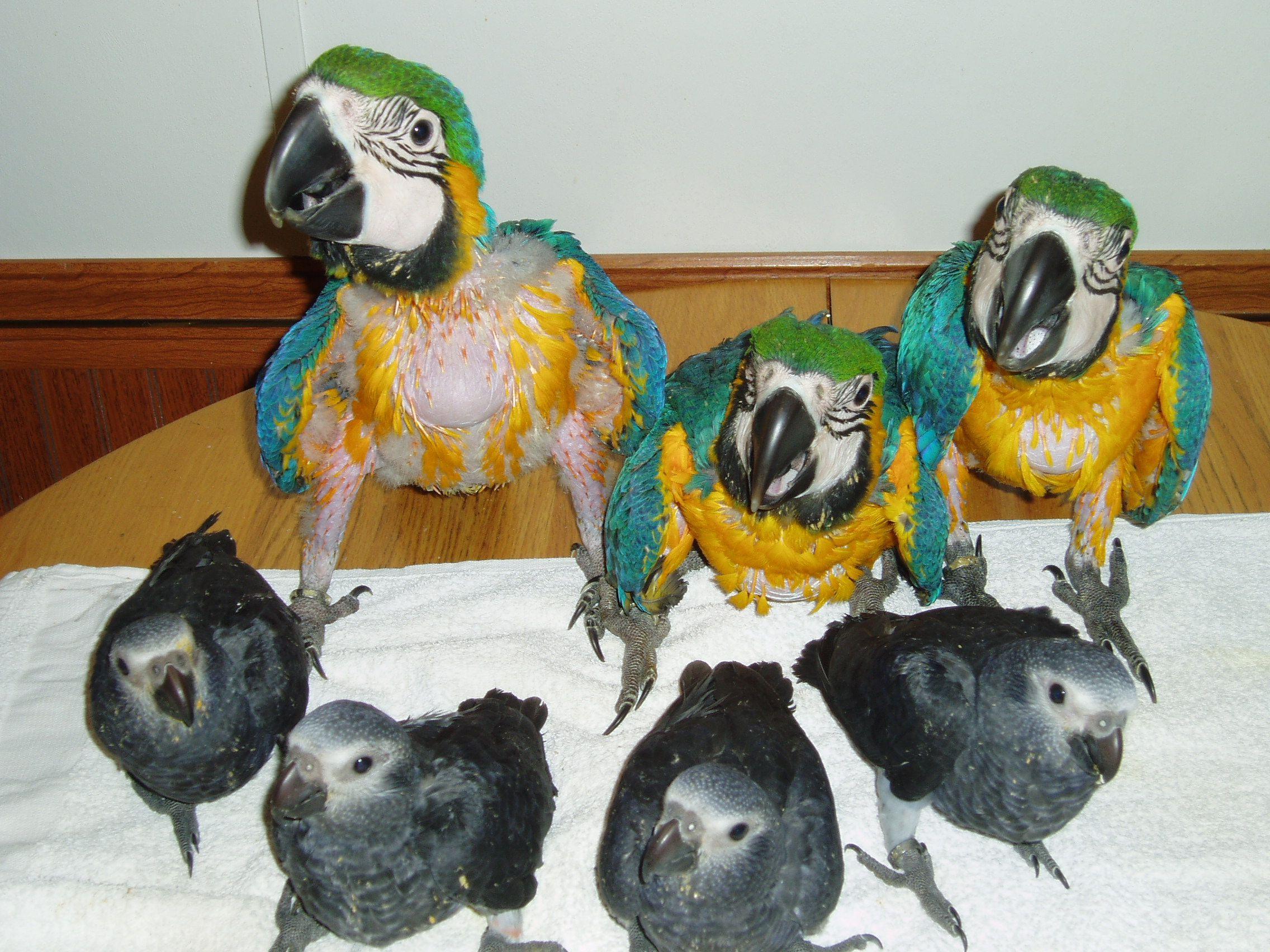 Vaughan's Greys Breeder of Exotic birds  vaughansgreys com | Baby