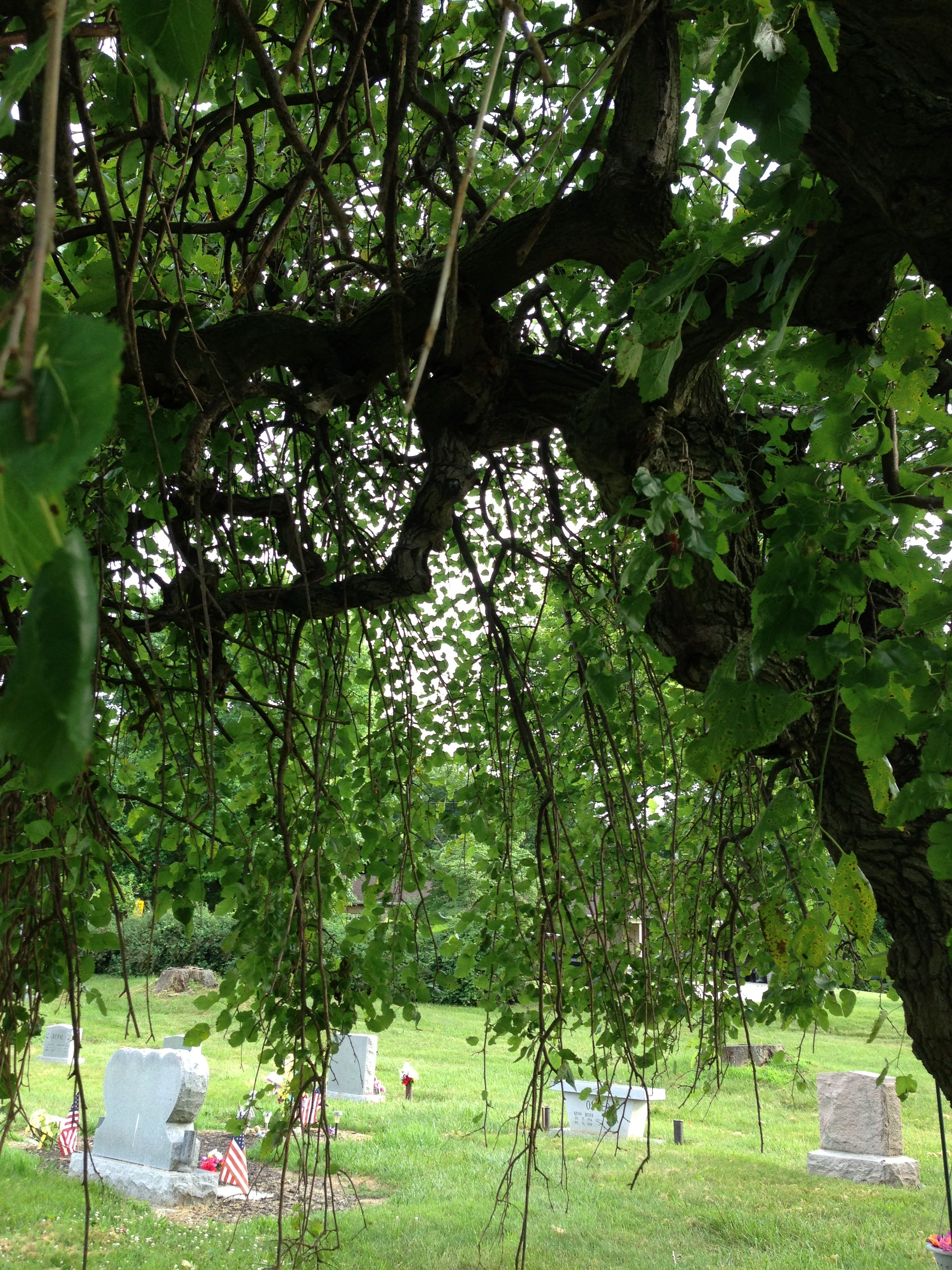 Underside the canopy of a 12' Weeping Mulberry