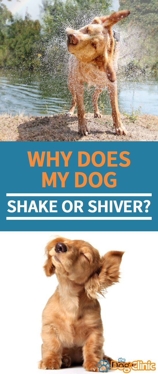 what does it mean when a dog shakes a lot