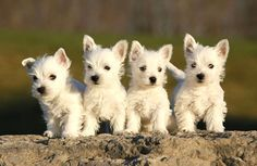 A Thomas S Peaches And Puppies Health Guaranteed Akc West Highland White Terriers Westies Miniatur With Images Westie Puppies Puppy Pictures Terrier Puppies