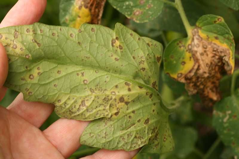 Septoria Leaf Spot of Tomato | Garden problems, Tomato garden, Leaves