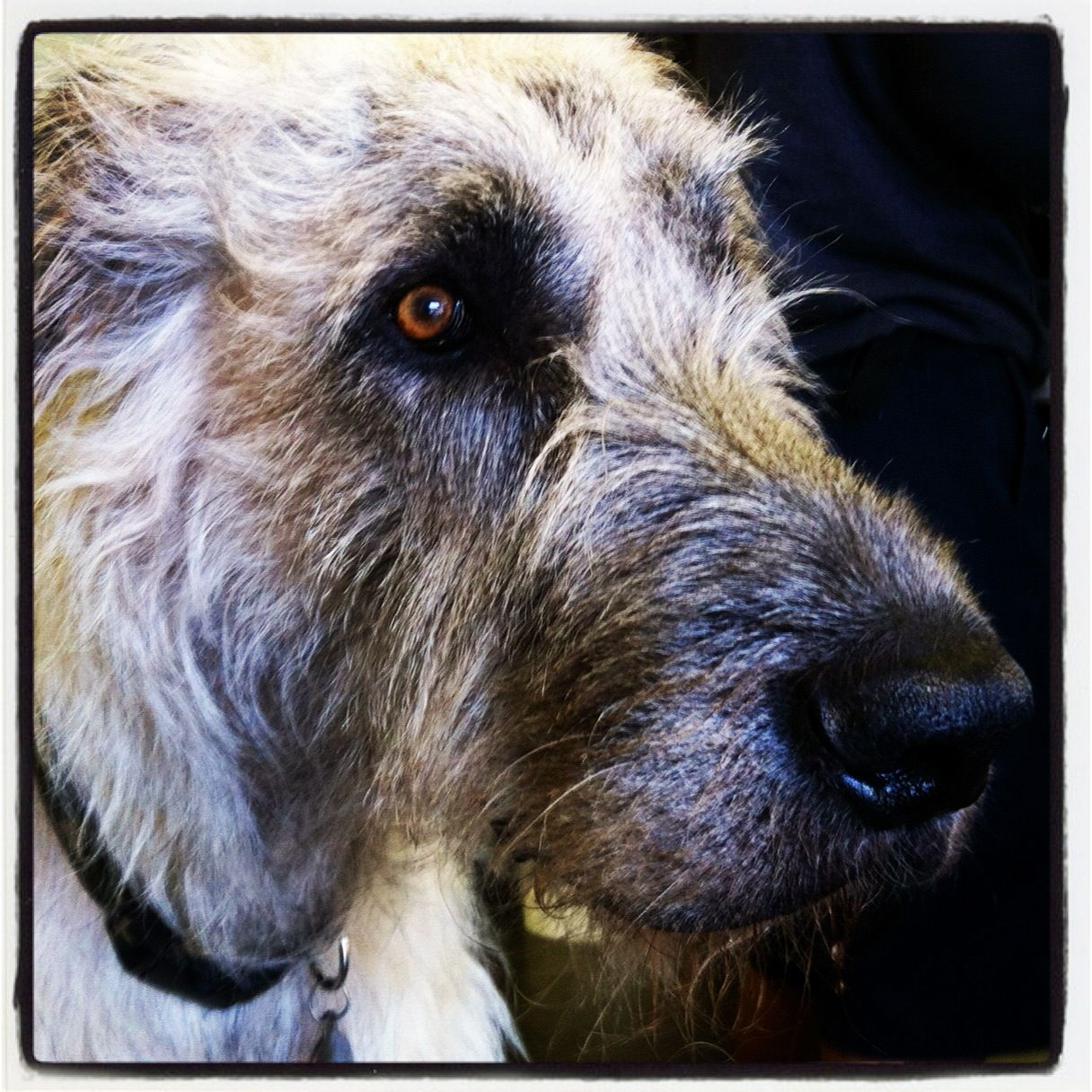 Wolfhound puppies going through beaver training irish wolfhound puppies going through beaver training irish wolfhounds pinterest wolfhound wolfhound puppies and irish wolfhounds geenschuldenfo Image collections