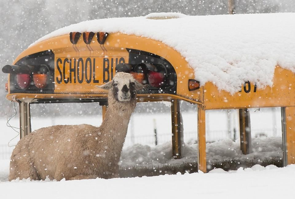 Llama in the snow