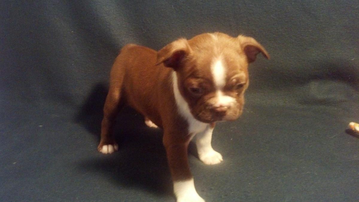 Boston Terrier Ckc Girls In Live Oak Florida Hoobly Classifieds Boston Terrier Funny Boston Terrier Terrier