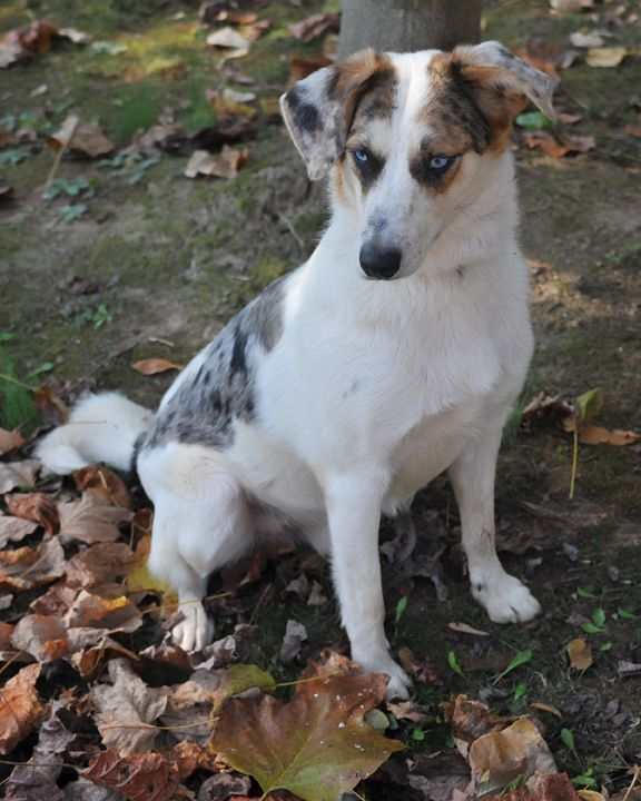Adopt Ozzie On Australian Shepherd Dogs Animal Shelter Animals